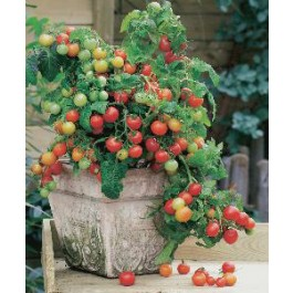 Tomaten balkontomaat Maskotka - kerstomaatje - zaden kopen  Jalapeno