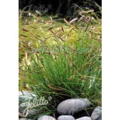 Bouteloua gracillis - Muskietengras - zaden kopen  Jalapeno