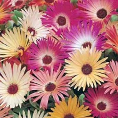 Mesembryanthemum Bellidiformis Livingstone Daisy Ijsbloem Zaden